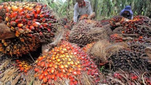 Harga Sawit Riau Sepekan Kedepan Rp2.229/Kg