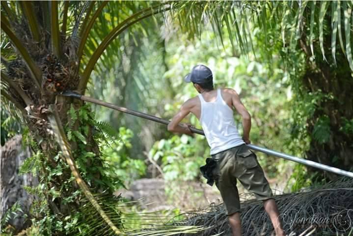 Harga TBS Sawit Riau Tembus di Harga Rp2.300