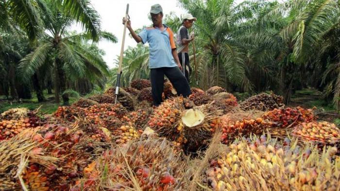 Harga TBS Sawit Riau Pekan Ini Turun Rp50,68/Kg