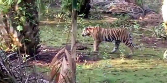Kawanan Harimau Mangsa 2 Sapi Milik Warga Siak
