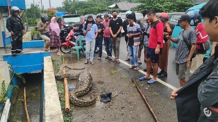 Ular Piton 7 Meter Ditangkap Warga Usai Mangsa Anak Sapi