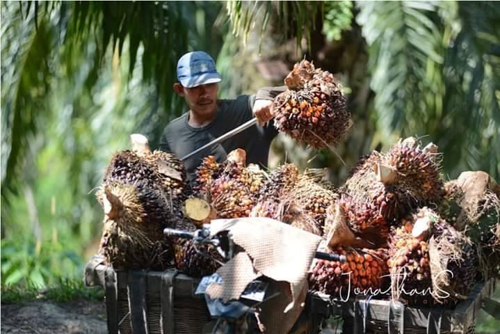 Harga Sawit Riau Periode 3 - 9 Maret 2021 Naik Rp 55,98/Kg