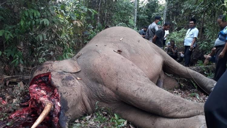 KSDA Bersama Polda Riau Selidiki Kematian Gajah di Inhu