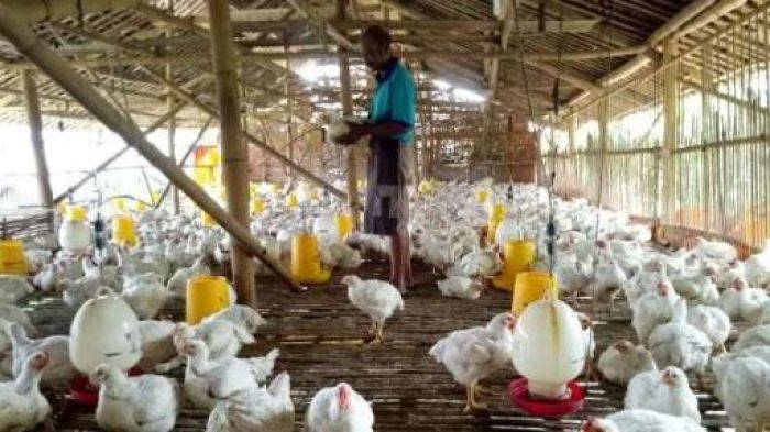 Antisipasi Harga Sawit, Masyarakat Beternak Ayam Organik
