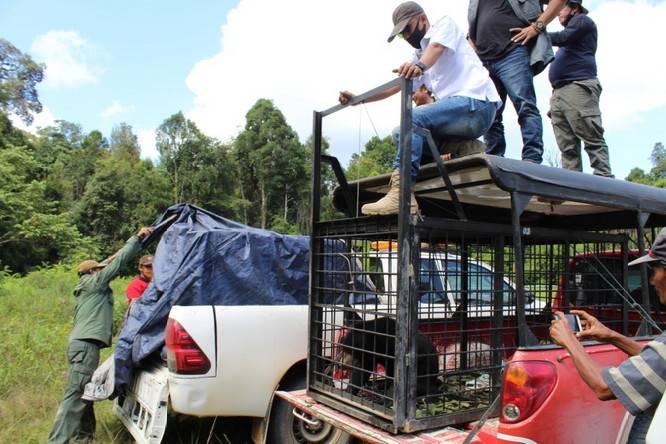 BBKSDA Riau Evakuasi Beruang Madu di Dumai