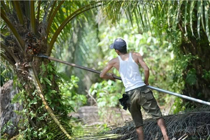 Harga Sawit Riau Periode 2-8 September 2020 Turun Rp 72,91/Kg