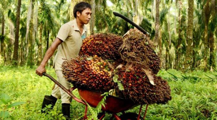 Harga TBS Sawit Riau Periode 4-10 Desember 2019 Turun Rp 1,85/Kg