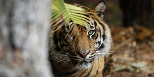 BBKSDA Riau Pasang Kamera Trap Lacak Harimau di Tapung Kampar