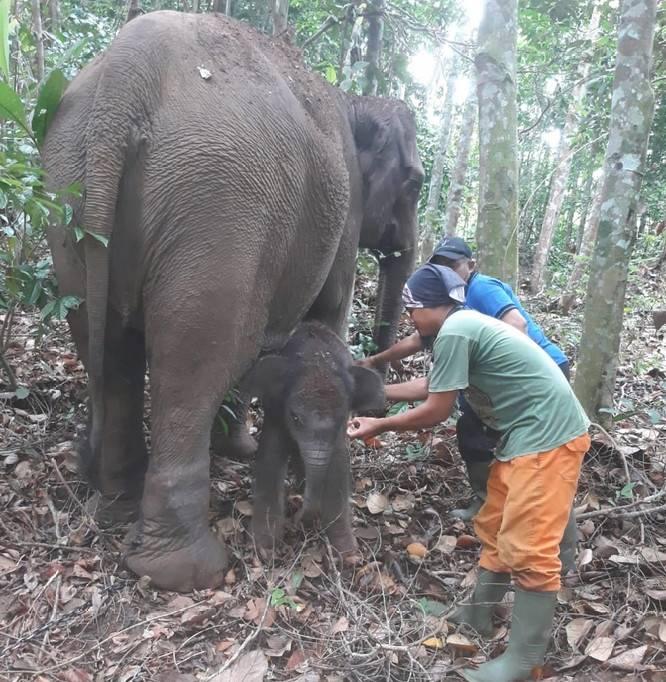 Induk Gajah Tesso Nillo Pelalawan Melahirkan